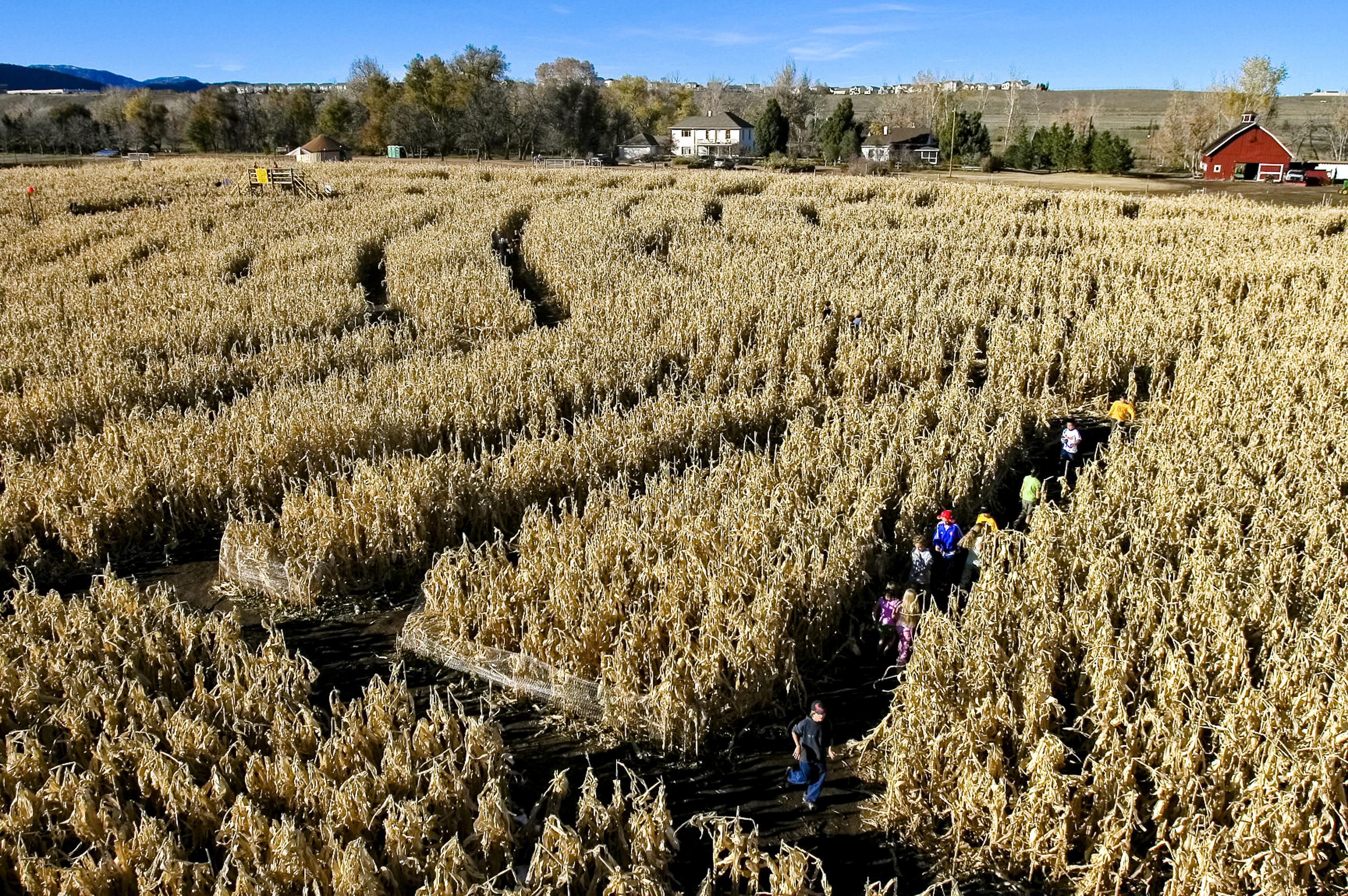 The botanic garden\'s annual corn maze near Chatfield Reservoir is ...