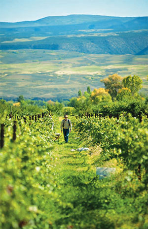 A farmer strolls through a Colorado vineyard