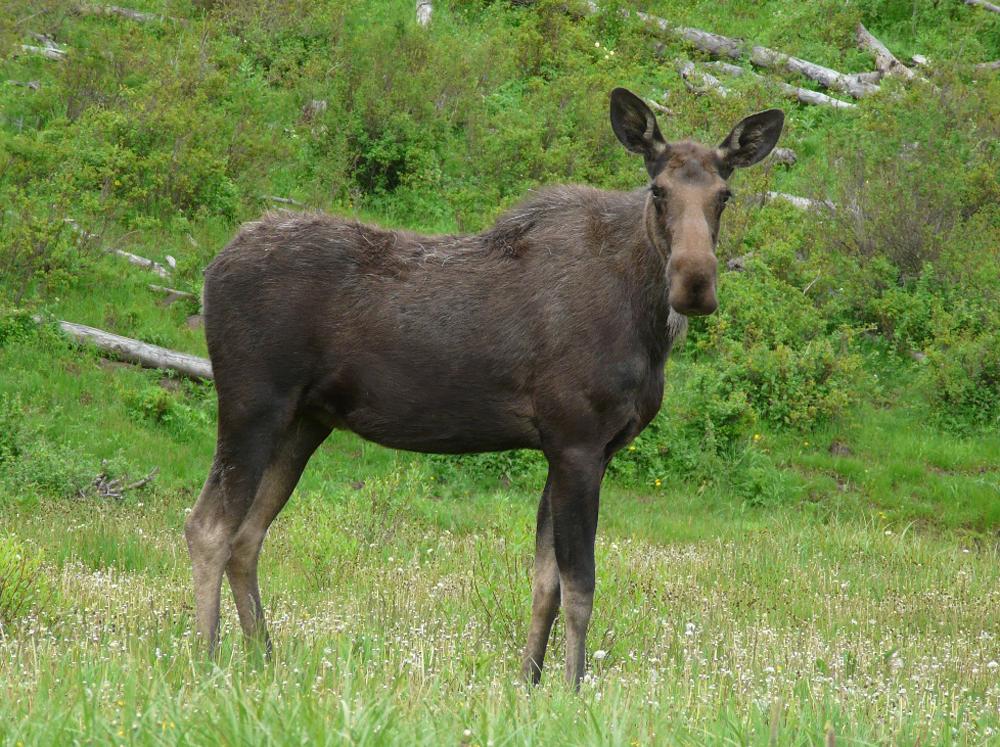 Moose on Colorado's Grand Mesa